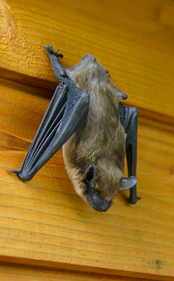 Bat Removal Bats In Attic National Directory Of Local