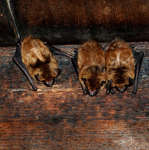 how to get rid of bats in attic vent