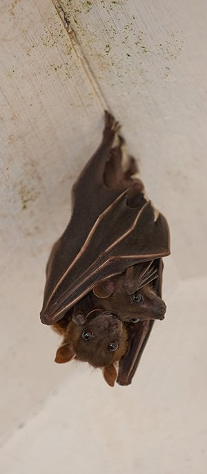 bat with a baby bat in an attic