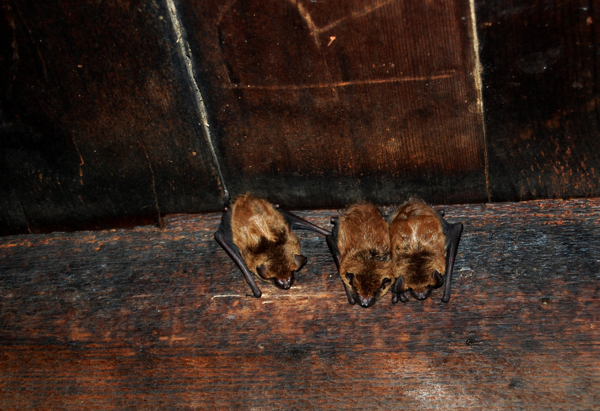 bat removal usa - bats roosting in the attic