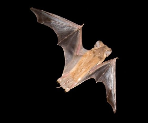 brazilian bat