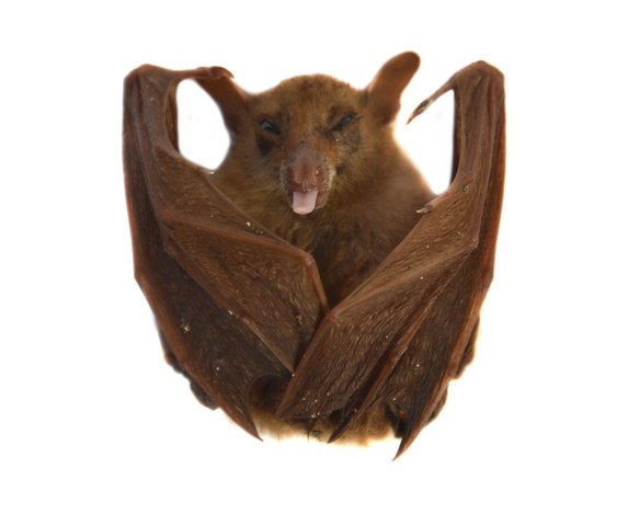bat biology