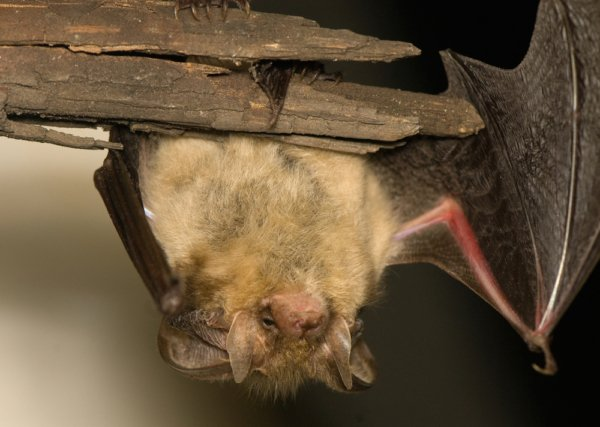 how we can help remove bats in the attic