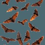 bats in attics