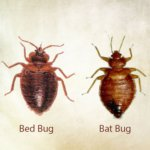 bat bug removal in virginia - bed bugs