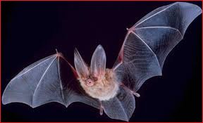Richmond VA bat removal