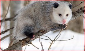 Richmond VA Opossum Removal