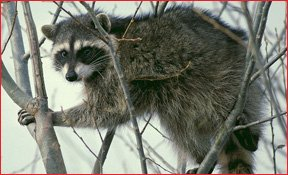 Richmond VA Raccoon Removal