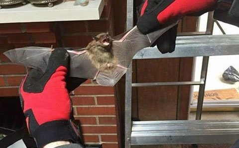 Richmond Virginia Bat Removal Specialists Virginia Professional Wildlife Removal Services, LLC successful bat capture.
