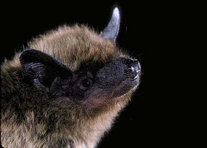 evening bat - nycticeius humeralis