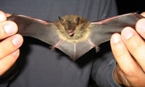 holding a bat by its wings