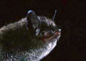 indiana myotis bat