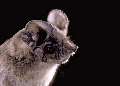 mexican free tailed bat - tadarida brasiliensis