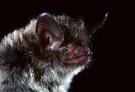 northern long-eared myotis bat