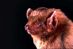 northern yellowfins bat