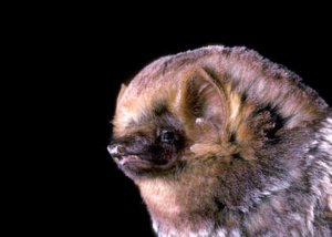 seminole bat