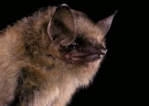 tri-colored bat